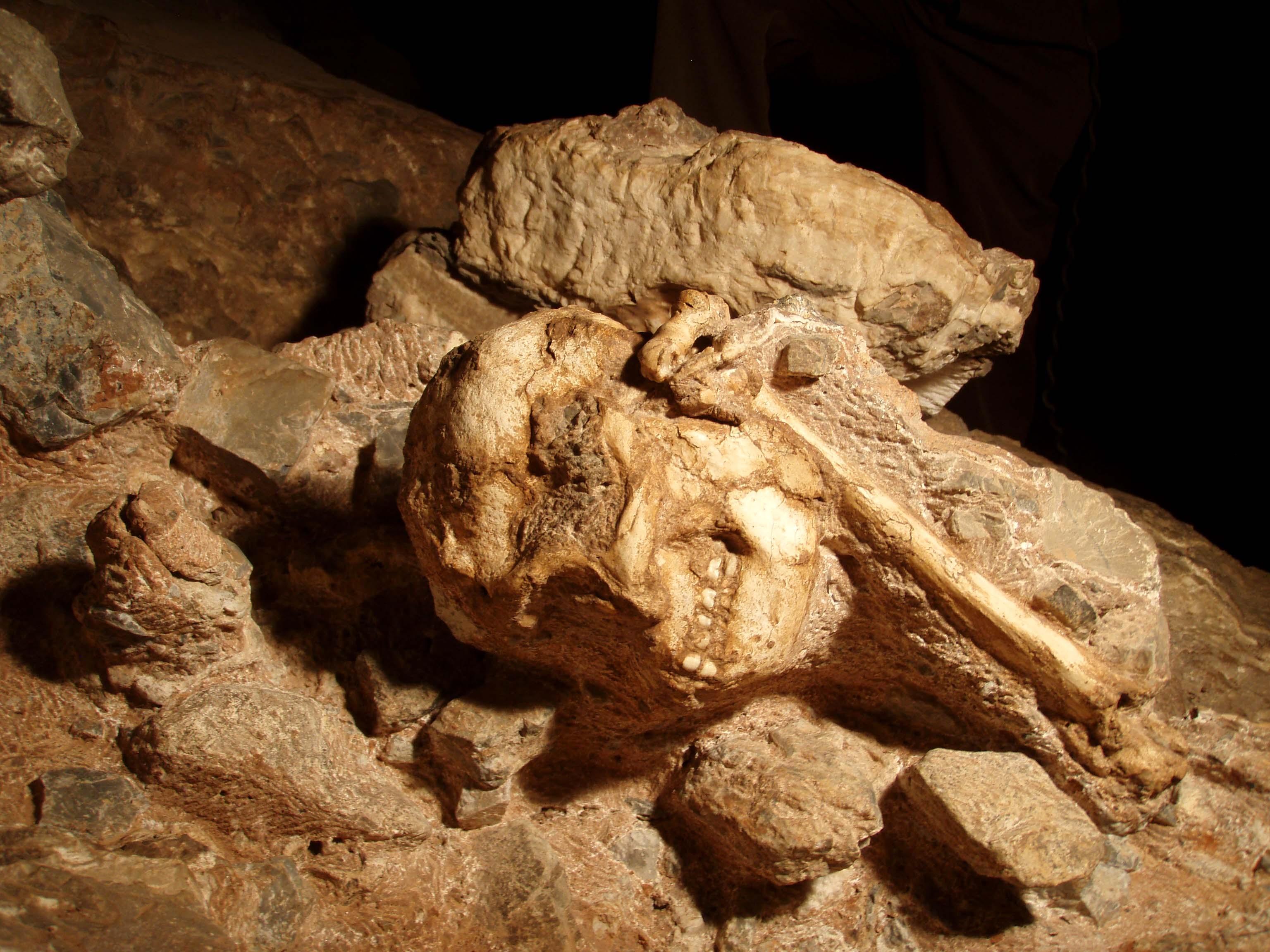StW 573 (Little Foot) est le squelette d'australopithèque le plus complet découvert à ce jour. L'essentiel des ossements sont encore en connexion, plus de 3 Ma après sa chute dans la Silberberg grotto (Afrique du Sud) Cliché L. Bruxelles/Inrap